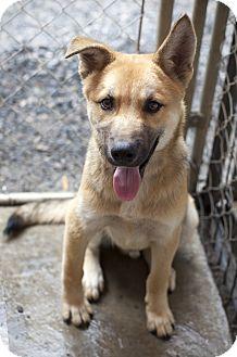 Shepherd (Unknown Type) Mix Puppy for adoption in Henderson, North Carolina - Sammy