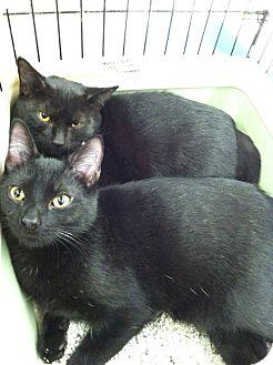 Domestic Shorthair Kitten for adoption in Riverhead, New York - Shadow