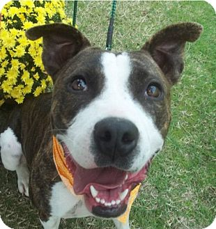 American Pit Bull Terrier Mix Dog for adoption in Conway, Arkansas - Sugar