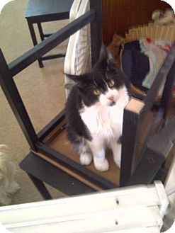 Maine Coon Cat for adoption in San Ramon, California - Benny