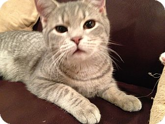 Domestic Shorthair Kitten for adoption in East Hanover, New Jersey - Creed and Klondike
