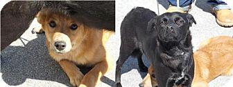 Labrador Retriever/Carolina Dog Mix Dog for adoption in Clinton, Maine - Ebony and Ivory