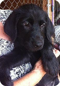 Poodle (Standard)/Labrador Retriever Mix Puppy for adoption in Nuevo, California - Angel