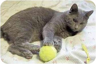 Russian Blue Cat for adoption in Chapman Mills, Ottawa, Ontario - HURRICANE