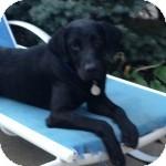 Labrador Retriever Mix Dog for adoption in Cincinnati, Ohio - Perry
