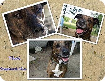 Shepherd (Unknown Type)/Labrador Retriever Mix Dog for adoption in Swansea, Massachusetts - Thai