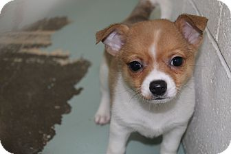 Rat Terrier/Pomeranian Mix Puppy for adoption in Atmore, Alabama - Terrier puppies