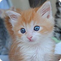 Adopt A Pet :: Connor (aka Little Orange Boy) - Palmdale, CA