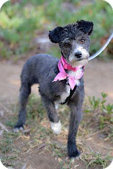 Poodle (Miniature)/Poodle (Miniature) Mix Dog for adoption in El Cajon, California - SUSIE