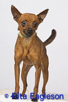 Chihuahua/Terrier (Unknown Type, Small) Mix Dog for adoption in Phoenix, Arizona - Luke