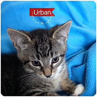 Domestic Shorthair Kitten for adoption in Toledo, Ohio - Urban