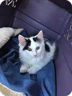 Domestic Mediumhair Kitten for adoption in Groton, Connecticut - Maia