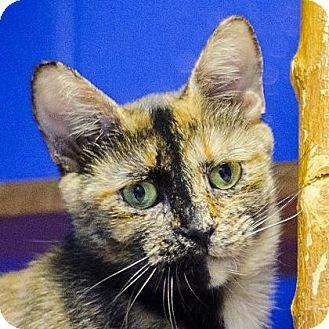 Domestic Shorthair Cat for adoption in Adrian, Michigan - Claire