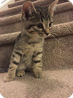 Domestic Shorthair Kitten for adoption in Woodstock, Ontario - Chevelle