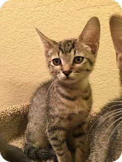 Domestic Shorthair Kitten for adoption in Fountain Hills, Arizona - FIONA