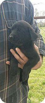Labrador Retriever/Pointer Mix Puppy for adoption in Providence, Rhode Island - Freddie (Bogart)