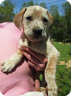 American Bulldog/English Setter Mix Puppy for adoption in South Burlington, Vermont - Ephram
