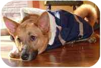 Corgi/Basenji Mix Dog for adoption in Stambaugh, Kentucky - Gracie