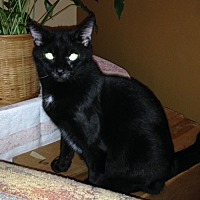 Domestic Shorthair Cat for adoption in Asheville, North Carolina - Gabby