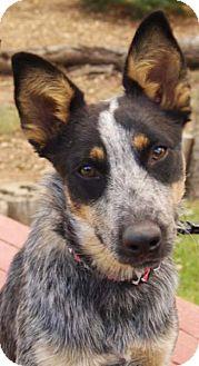 Australian Cattle Dog Dog for adoption in Tehachapi, California - Cricket