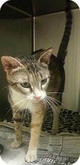 Domestic Shorthair Cat for adoption in Columbus, Georgia - Shasta 3880