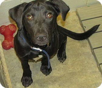 Labrador Retriever Mix Dog for adoption in Aiken, South Carolina - TERRY