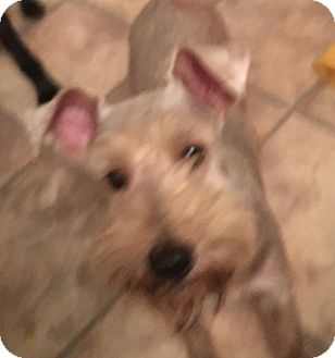 Miniature Schnauzer Mix Dog for adoption in Pennigton, New Jersey - Pebo