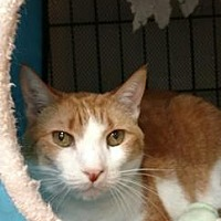 Adopt A Pet :: Ginger the Cat * - Miami, FL