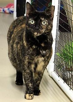 Domestic Shorthair Cat for adoption in Morgan Hill, California - Rose