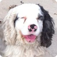 Adopt A Pet :: SASSY & Tripper - Toluca Lake, CA