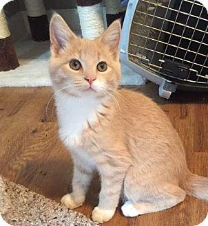 Domestic Shorthair Kitten for adoption in Des Moines, Iowa - Dusty