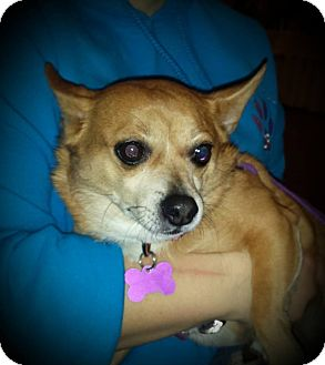 Chihuahua/Corgi Mix Dog for adoption in Youngstown, Ohio - Buddy ~ Adoption Pending