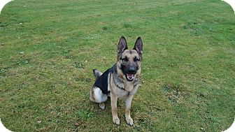 German Shepherd Dog Dog for adoption in Lake Oswego, Oregon - MYA von MYRTH