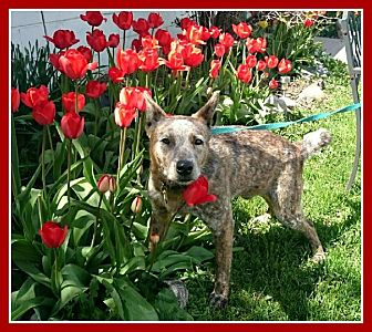 Australian Cattle Dog Dog for adoption in New Richmond,, Wisconsin - Benjamin