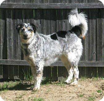 Australian Shepherd/Australian Cattle Dog Mix Dog for adoption in Smithtown, New York - Sharkey