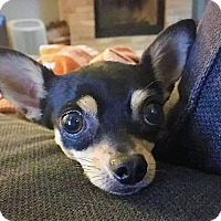Adopt A Pet :: Hamilton - AUSTIN, TX