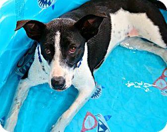 Pointer/Mixed Breed (Medium) Mix Dog for adoption in Killeen, Texas - Duchess
