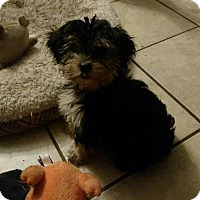 Yorkie, Yorkshire Terrier/Maltese Mix Puppy for adoption in WOODSFIELD, Ohio - MORKIE