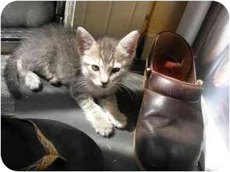Domestic Shorthair Kitten for adoption in Davis, California - Rachel