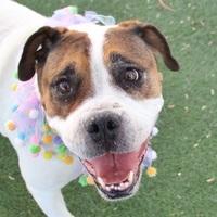 Adopt A Pet :: PATCHES - Las Vegas, NV
