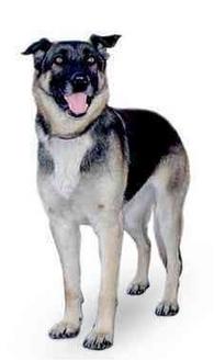 German Shepherd Dog Dog for adoption in Marina del Rey, California - Lucy