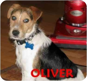 Jack Russell Terrier Puppy for adoption in Terra Ceia, Florida - OLIVER