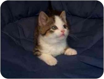 Domestic Shorthair Kitten for adoption in Mason City, Iowa - Popsicle