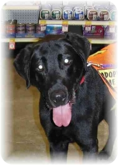Labrador Retriever Dog for adoption in Wyoming, Minnesota - Klinger-- Beauty!
