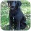 Photo 1 - Shepherd (Unknown Type)/Flat-Coated Retriever Mix Dog for adoption in Skillman, New Jersey - Tobe