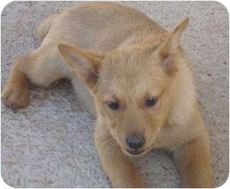 Golden Retriever/Australian Shepherd Mix Puppy for adoption in Phoenix, Arizona - Linguine - Pasta Puppy