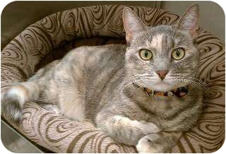 Domestic Shorthair Cat for adoption in Schertz, Texas - Pastel