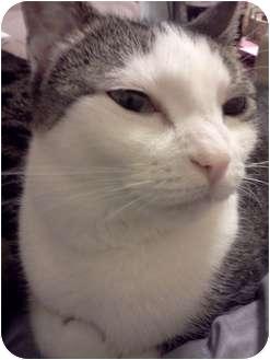 Domestic Shorthair Cat for adoption in Yuba City, California - Little Bit
