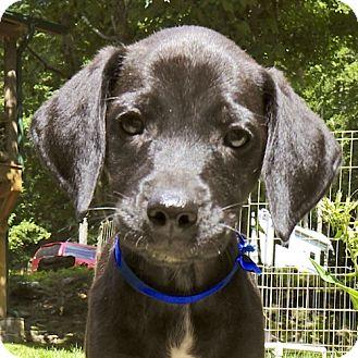 Hound (Unknown Type)/Labrador Retriever Mix Puppy for adoption in Broadway, New Jersey - Cobalt