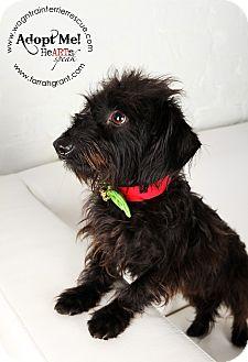 Dachshund/Poodle (Miniature) Mix Dog for adoption in Omaha, Nebraska - Danny-adoption pending